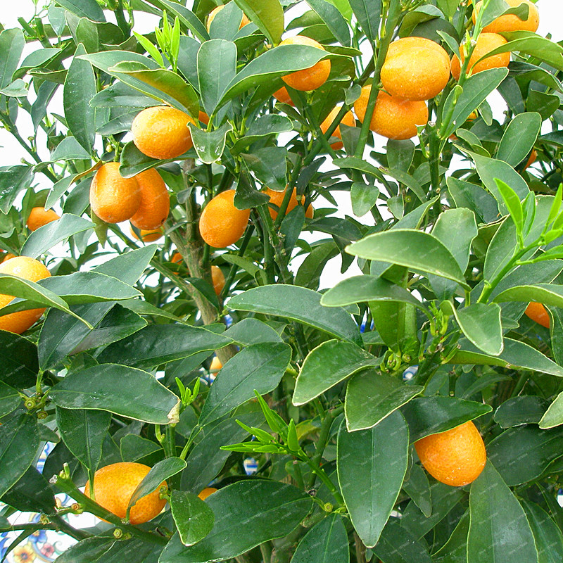 100 pcs Bonsai Kumquat trees orange garden High Nutrition Tangerine ...