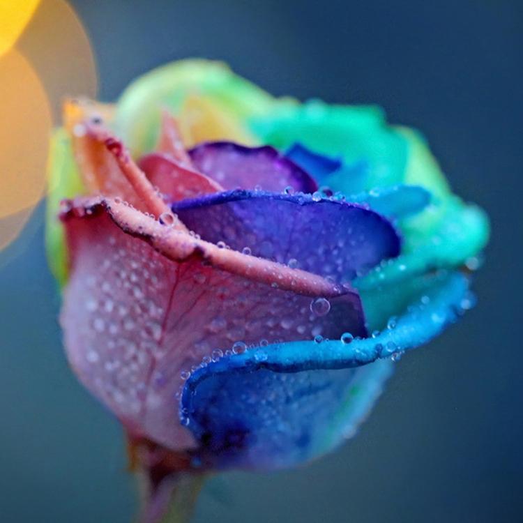 fleur graines de belle rainbow rose graines bonsai graines bricolage jardin decor pcschina