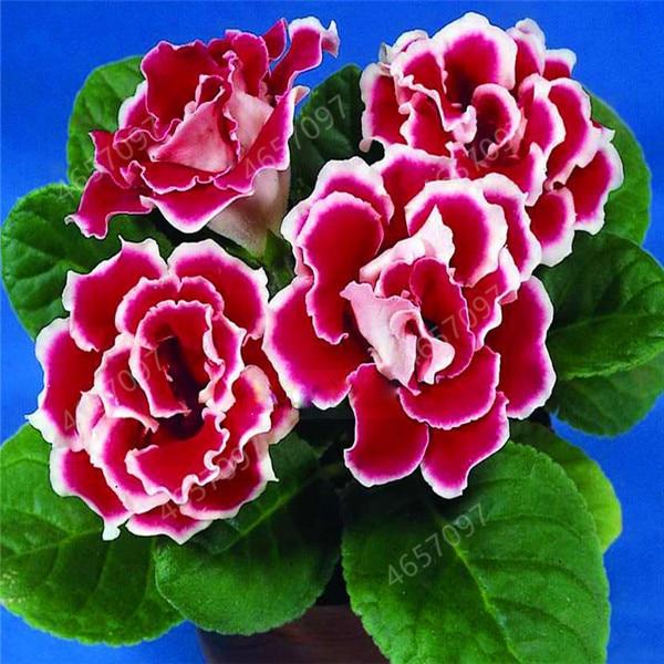 100 PCS Seed 9 Colors Gloxinia Garden Perennial Plants Sinningia Speciosa Bonsai