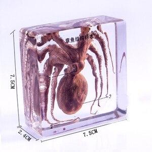 Image 2 - Real Octopus Exemplaren In Clear Lucite Blok Educatief Midden school biologie School leermiddelen Onderwijs instrument