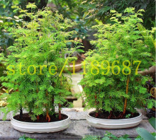 Bonsai seeds 100pcs Dawn Redwood Tree Grove - Metasequoia glyptostroboides,DIY home gardening! Very easy to grow