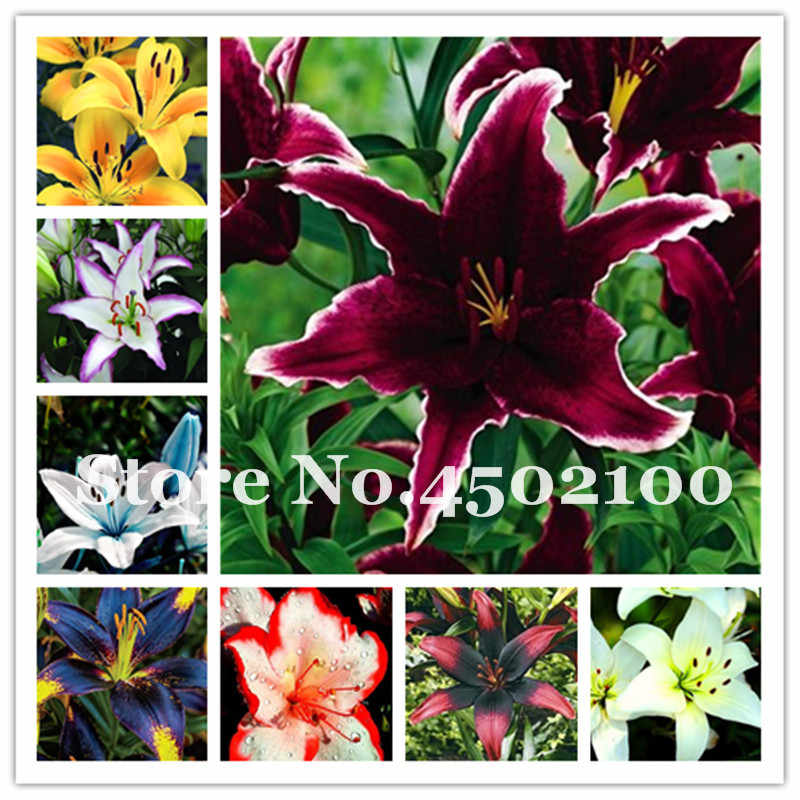 Lily Flower Potted Not Lily Bulbs It Is Bonsai Lilum Flower Outdoor Perennial Pleasant Fragrance Plant For Home & Garden 200 Pcs