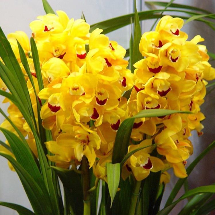 Rare Colors Orange Cymbidium Orchid Flower Seeds Balcony Bonsai Pot DIY Home Garden Indoor Plants 120PCS