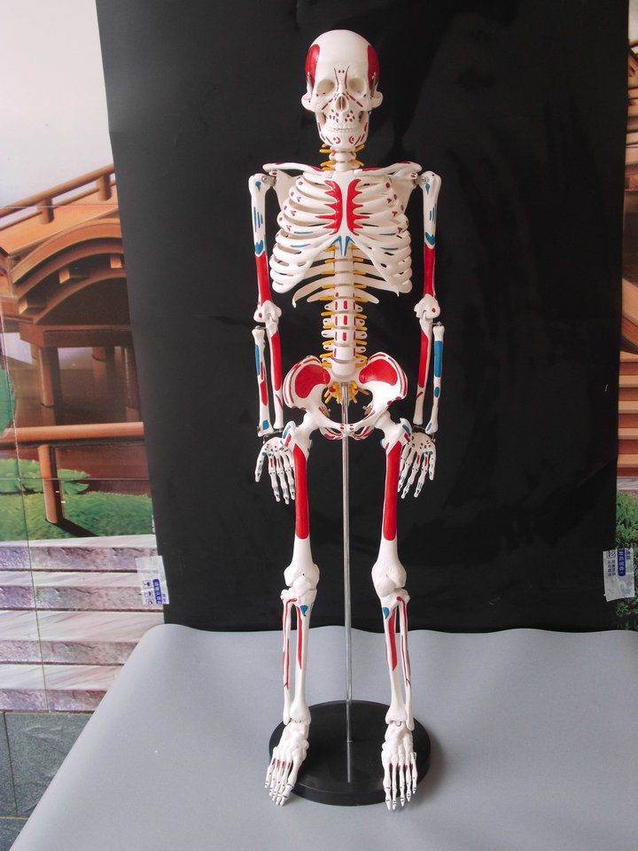 45cm human skeleton medical model torso anatomy skeleton dental ...