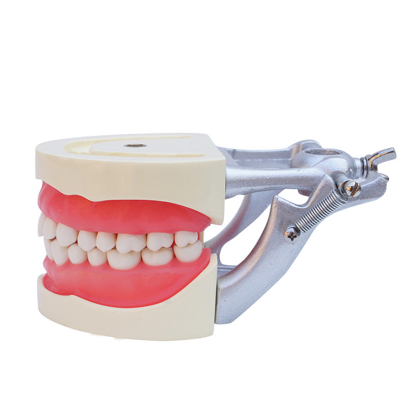 New Dental Teach Study Adult Standard Typodont Demonstration Model Teeth Top quality teeth orthodontic model ceramic braces wrong jaw demonstration model orthodontics practice model