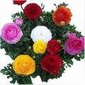 40 PCS Ranunculus Asiaticus Flower Seeds For Home & Garden DIY Plants Persian Buttercup Seed Flower Bulbs