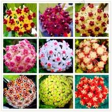 24 Color Hoya flower seeds Rare Perennial Plant Hoya Carnosa Seed Bonsai Seeds Pot Plant For Home Garden 100Pcs