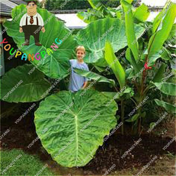 100pcs Blue Alocasia Macrorrhiza bonsai Giant Elephant Ear Taro Garden Taro Plants Ornamental Leaves Edible Root Vegetable