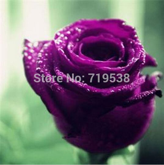 New Rare 100 Pcs Rose Seeds Purple Black White Red Blue Bonsai /Lovely Flowers Rose Seeds