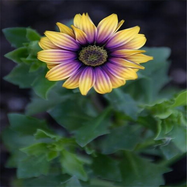 African Blue Eyed Daisy plant Osteospermum flowers Cape Mix Flower bonsai Heirloom plant for home garden 100 pcs(China)