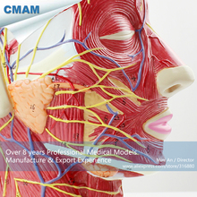 CMAM-BRAIN05 Right Half Human Head Neck Anatomy Model,  Medical Science Educational Teaching Anatomical Models