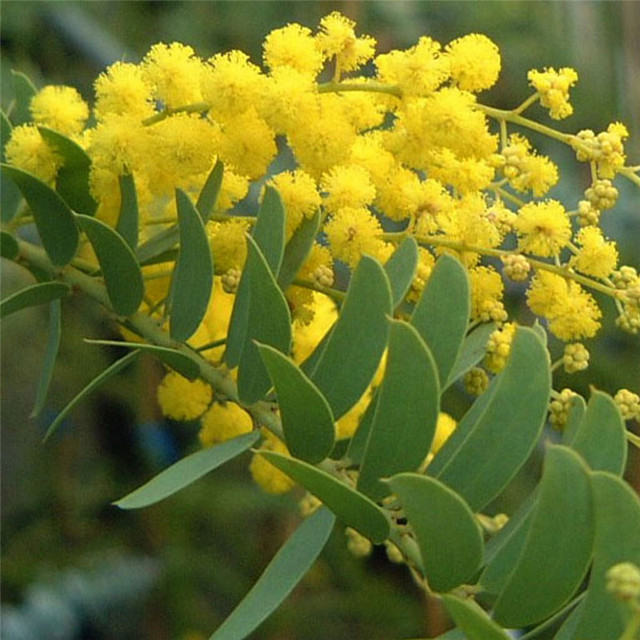 Aliexpress buy beautiful golden yellow flowers acacia tree beautiful golden yellow flowers acacia tree seedblooms all year round 30pcs lot mightylinksfo