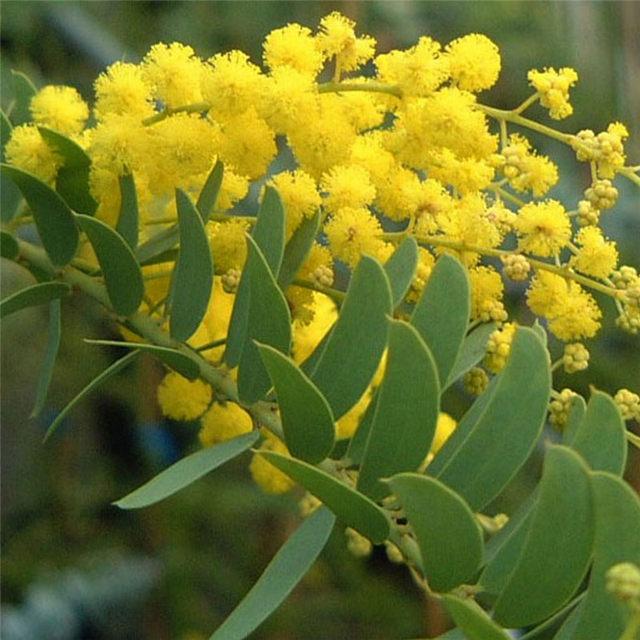 Online shop beautiful golden yellow flowers acacia tree seedblooms beautiful golden yellow flowers acacia tree seedblooms all year round 30pcs lot mightylinksfo