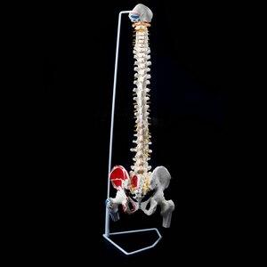 85 см 1:1 Размер жизни Анатомия позвоночника модель таза бедра + подставка школьная образовательная медицинская наука анатомическая модель обучения