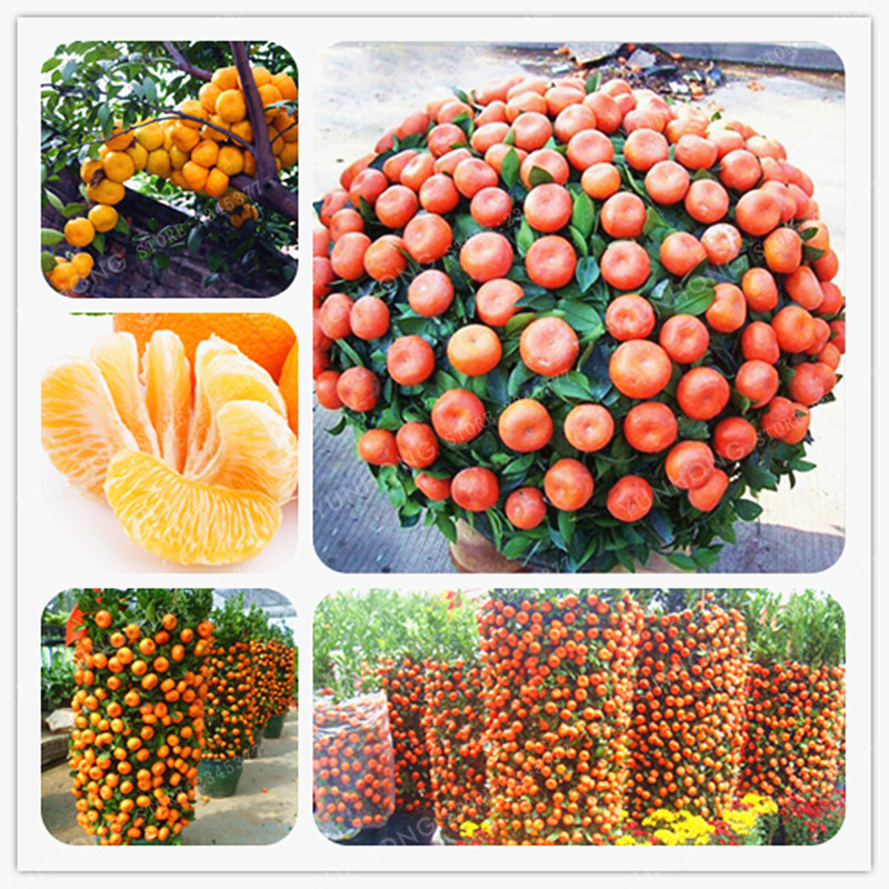 30 PCS Climbing Orange Seeds Mini Potted Edible Fruit Seeds Bonsai China Top Quality Climbing Orange Tree Seeds Climbing Plants