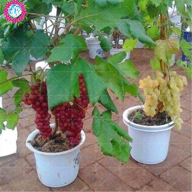 50 قطعة/الحقيبة بونساي العنب الفاكهة الأسود شجرة قزم الحلو الفاكهة النباتات الرئيسية حديقة أصائص زرع زرع