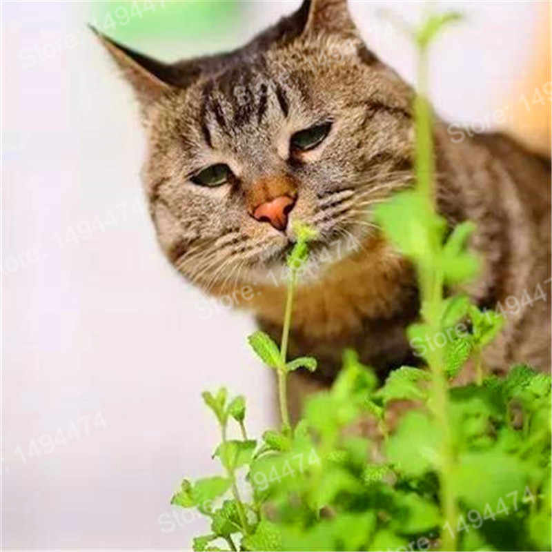 200pcs/bag Cat Mint Aromaticpotted plants Catnip flores Heirloom Spearmint Herb plantas Aromatic plant bonsai plante for home ga
