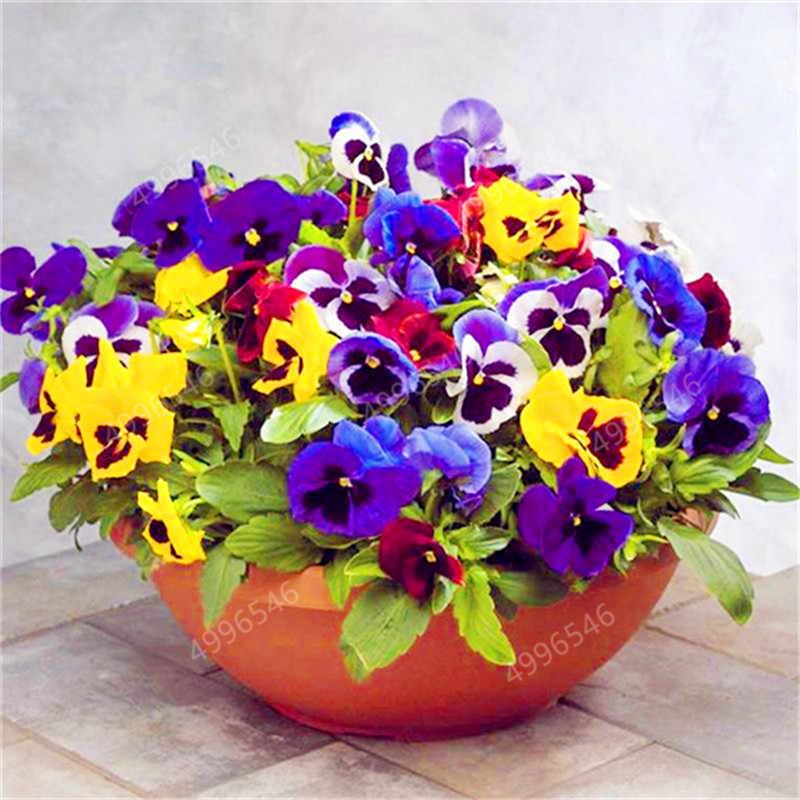 100 unidades/pacote Mexicano Importado Pansy Ondulado Viola Tricolor Pansy Flor Bonsai Bonsai Vasos de Plantas DIY Home & Garden fácil crescer