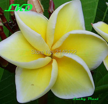7 to15inch Rooted Plumeria Plant Thailand Rare Real Frangipani Plants no254-sirimongkol-2