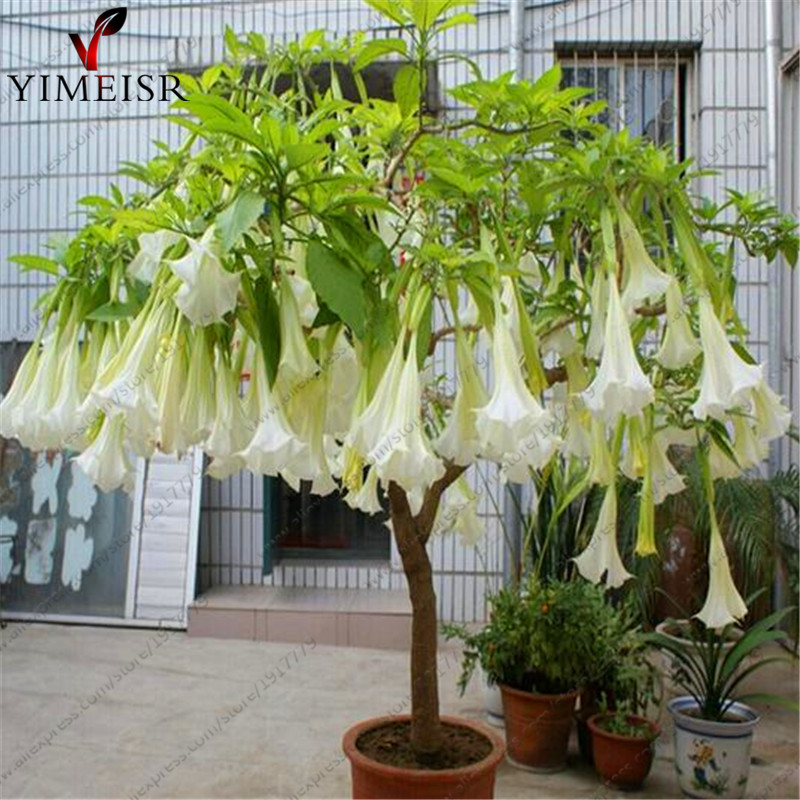 Datura Flower Seeds Tropical Plant Aromatic White Angels Trumpet Indoor Bonsai Seed For Home