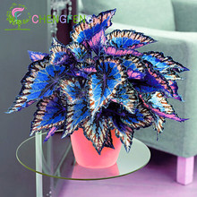 100pcs Janpanse Bonsai Coleus Seeds Foliage Plants Perfect Color Rainbow Dragon Seeds Beautiful Flower Plant Garden Semente