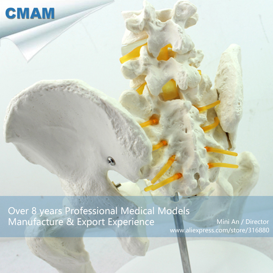 12338 CMAM-PELVIS01 Anatomical Human Pelvis Model with Lumbar Vertebrae Femur, Medical Science Educational Teaching Models cmam spine11 human vertebral column w half femur highly detailed model medical science educational teaching anatomical models