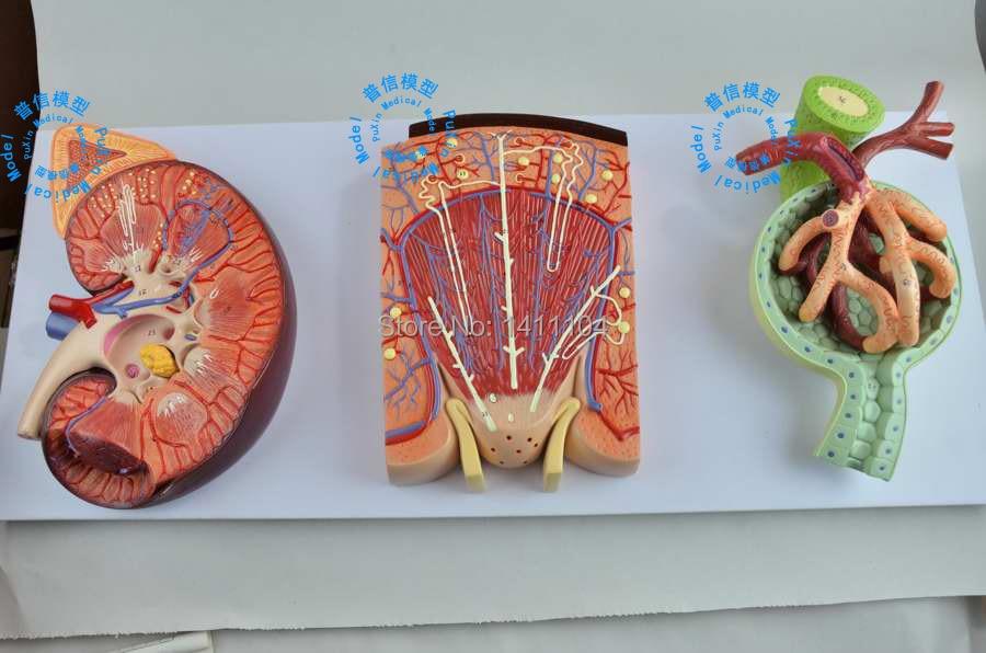 Envío libre y riñón unidades, nefrona, glomérulo modelo, sistema ...