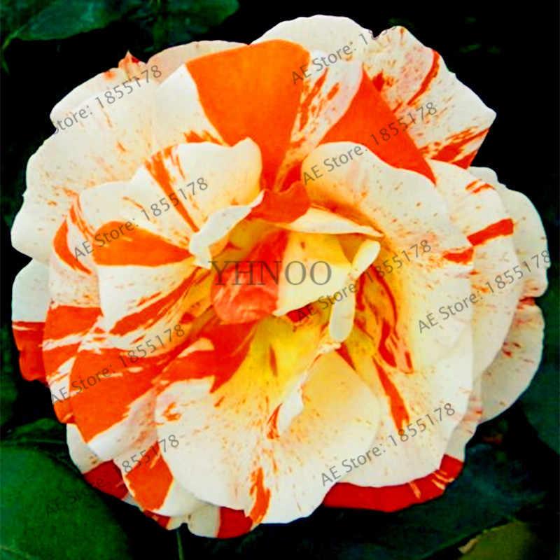 Sıcak satış! 50 adet karışık renk nadir Şeker Şerit rosePlantas bonsai çiçek Flores ev bahçe tesisi, yeşil, mavi kırmızı gül Ekici