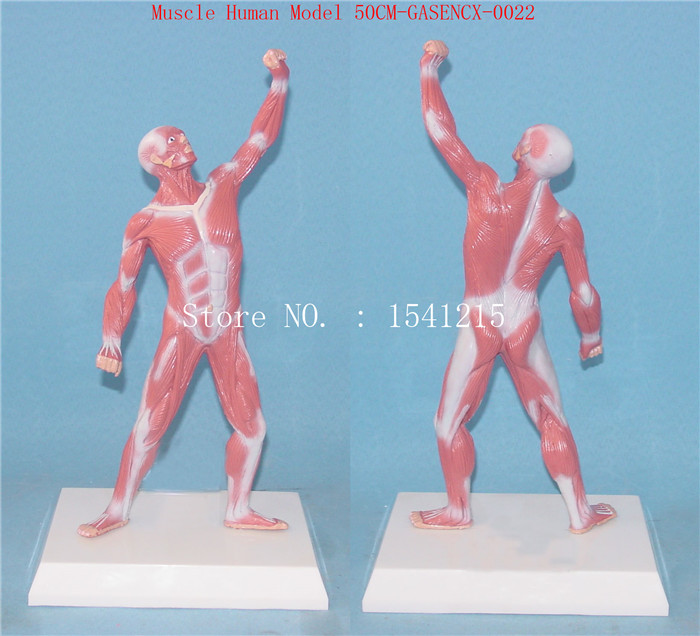 Human anatomy torso model Teaching Medical Muscle Human Model 50CM-GASENCX-0022 42cm male 13 torso model torso anatomical model of medical biological teaching aids equipment