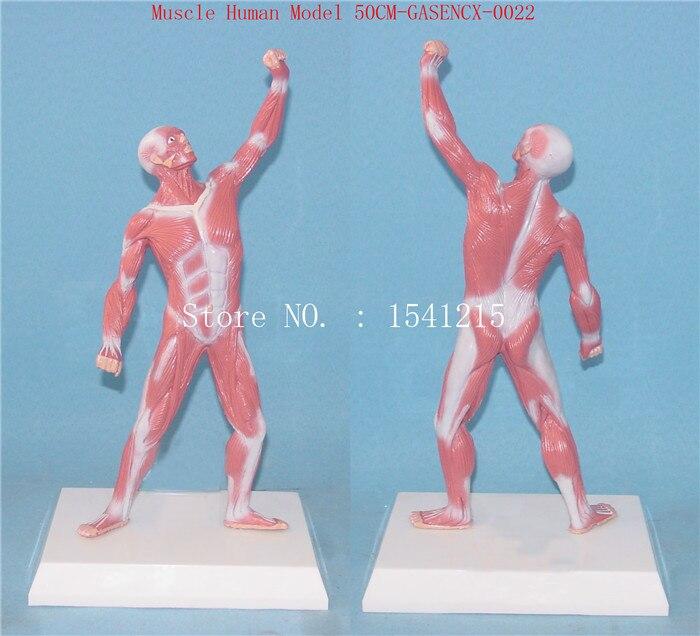 Human anatomy torso model Teaching  Medical  Muscle Human Model 50CM-GASENCX-0022Human anatomy torso model Teaching  Medical  Muscle Human Model 50CM-GASENCX-0022