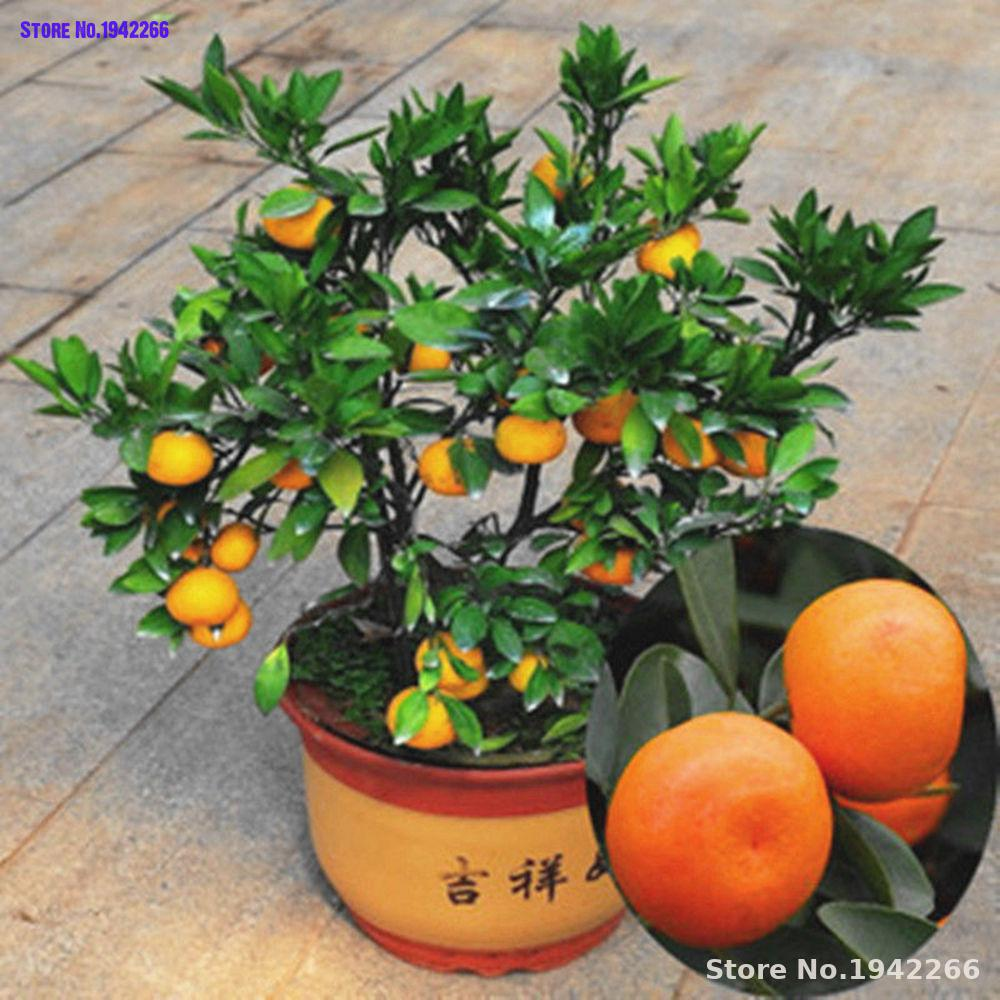 25 pcs bonsai orange potted edible tangerine citrus fruit dwarf orange tree indoor plant for
