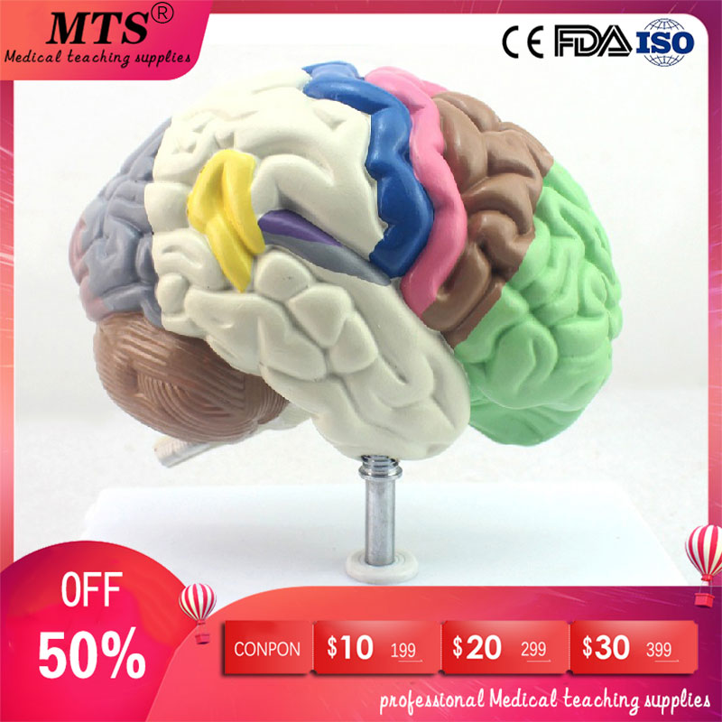 Medical Human Anatomical Brain Model Partition Chamber Hemisphere Telencephalon for medical teaching