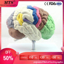 Medical Human Anatomical Brain Model Partition Brain Chamber Hemisphere Telencephalon Model for medical teaching figado liver pancreatic cystic structure model medical anatomical digestive stomach hepatobiliary gastrointestinal gasen xh003