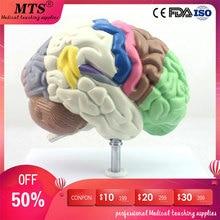 Brain Human Telencephalon Model