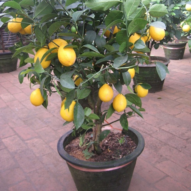 Lemon Tree Seeds High survival Rate bonsai Fruit  Seeds For Home  planting
