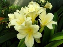 Clivia seeds,Clivia potted seed, Bonsai balcony flower – 100 pcs/bag