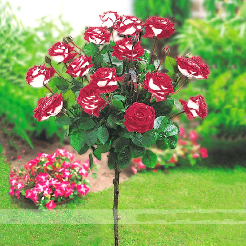 50pcs Rare Flower Rose Tree Seeds Diy Home Garden Potted Balcony & Yard Flowers Plant Four Seasons Sowing The Seed Funny Gift