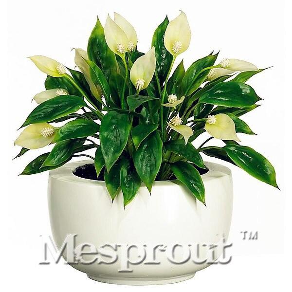 100  / Bag,Spathiphyllum