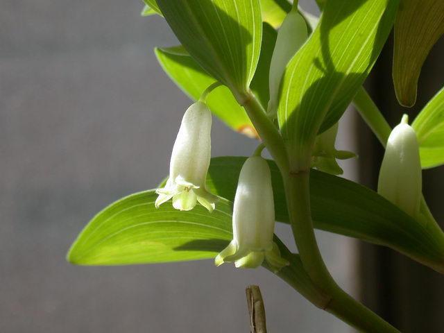 100g 10:1 extrato da planta em pó odoratum Polygonatum extrato em pó