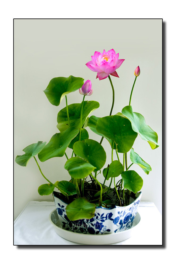 Mix mini flowers seeds many colors lotus seeds teach you plant the mix mini flowers seeds many colors lotus seeds teach you plant the lotus 8pcs ebay mightylinksfo Gallery