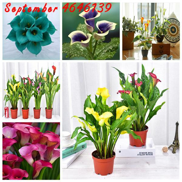 US $0.12 78% OFF|100 Pcs Calla Lily Bonsai,Rare Plants Flowers,Room on