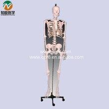 Human Skeleton Model BIX-A1003 W052