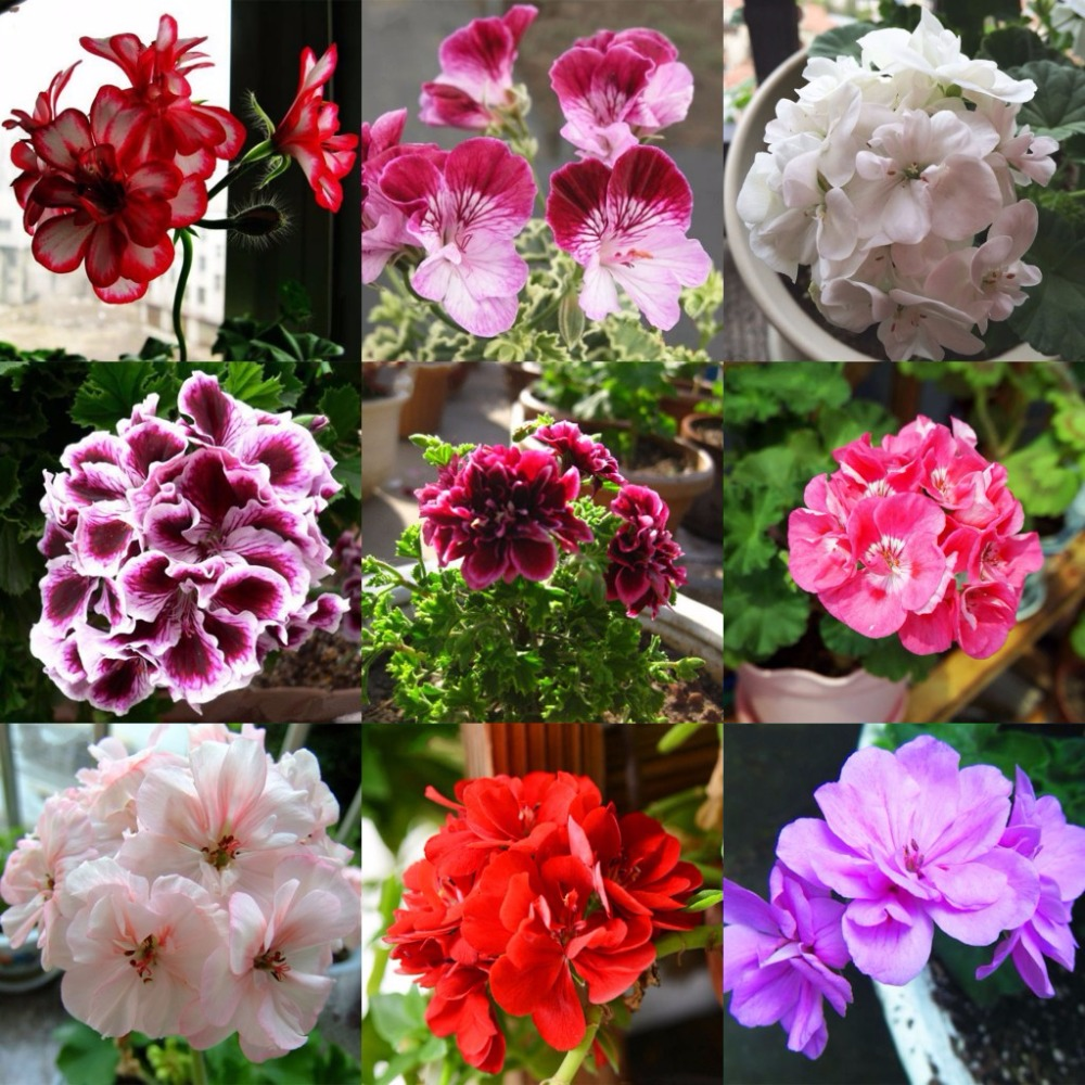 Types Of Geraniums: Compare Prices On Geranium Color- Online Shopping/Buy Low