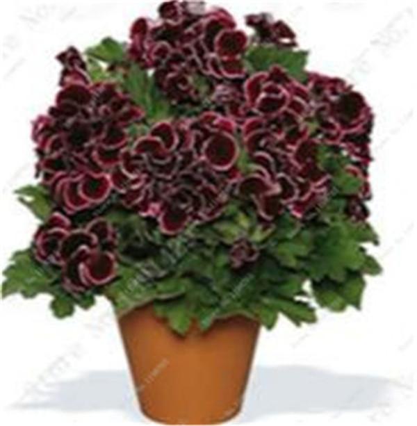 100 szt kolorowe Bonsai geranium kwiat rzadki variegated geranium Bonsai doniczkowa kryty pokoje Home Garden Flower dla roślin Bonsai tanie i dobre opinie Bardzo proste Wykluczone Upiększających Mini średni duży mały Jesień Konserwy roślin Wieloletnich Virgo Courtyard