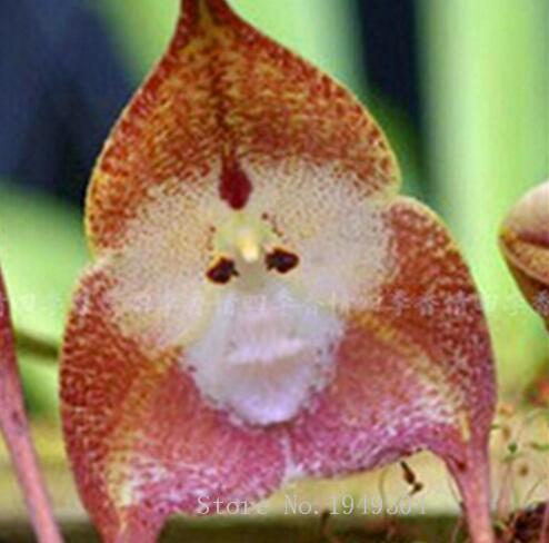 Raro mono japonés cara orquídea DIY Casa Jardín Plantas maceta bonsái flores 100 piezas hombre orquídea múltiples variedades