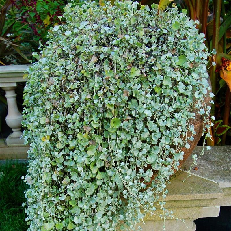 100 Pcs/ Dichondra Repens Lawn Plant,Grass Hanging