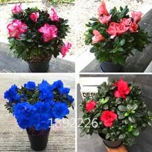 100pcs Double Azalea Rhododendron Simsii Bonsai Tree Flower Plant Perennial Evergreen Shrub Plants DIY Home Garden
