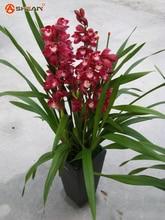Purple Cymbidium Seeds Garden Terrace Orchid Bonsai Seeds Bonsai Garden Orchid Flowers 100 Pieces