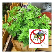 100pcs Mosquito Repelling Grass Mozzie Buster Sweetgrass Garden Home Bonsai Plant Easy planting Free Shipping Indoor