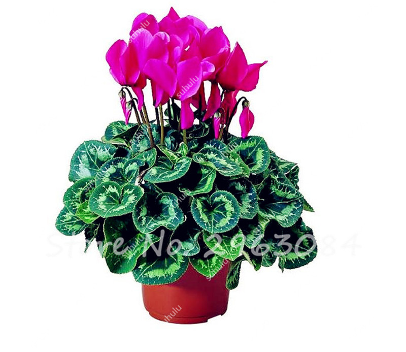 100 Pcs Cyclamen Seeds, Indoor Potted Plants Seed, Perennial ...